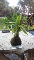 観葉植物苔玉